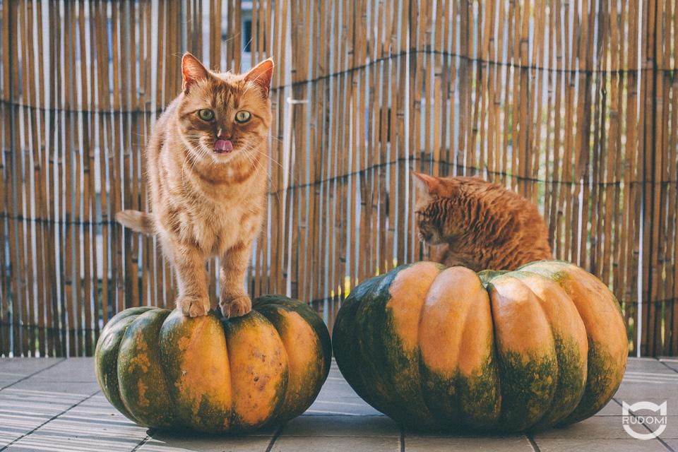 Rude koty i dynie - koty i Halloween - Rysiek i Marchewka - rudomi.pl
