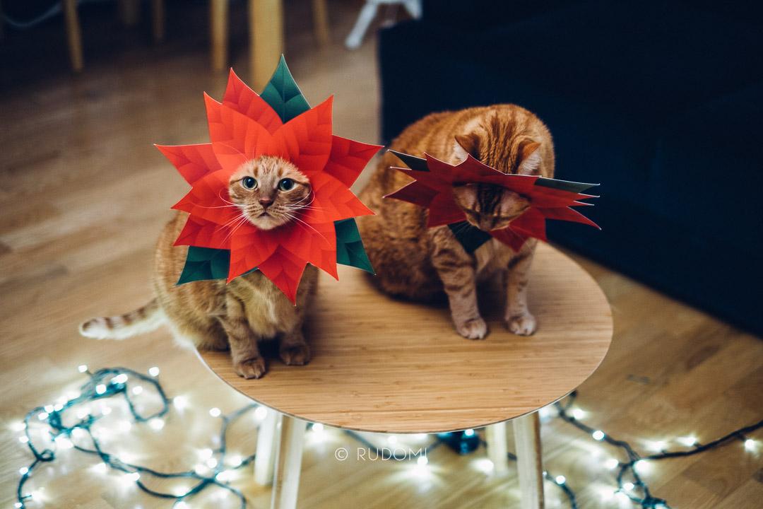 Gwiazdy betlejemskie i koty