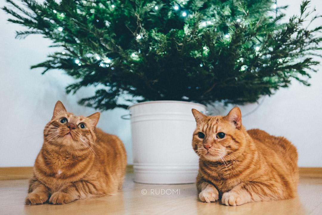 Święta i Sylwester z kotami, Rude koty pod choinką - rudomi