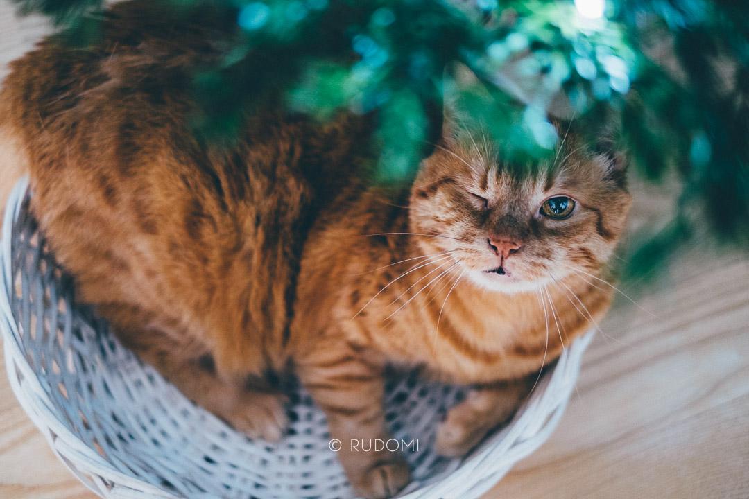 Kot puszcza oczko - święta z kotami - rudomi
