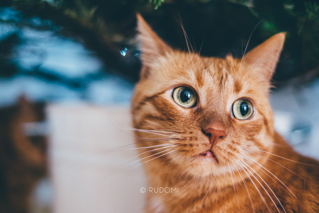 Święta i Sylwester z kotami, Marchewka na święta - rudomi